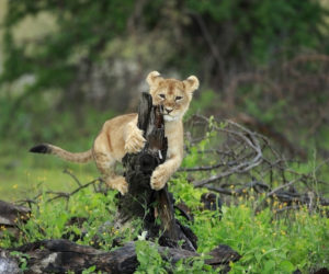 South Africa, Lion Cub