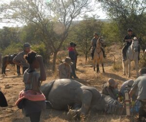Game Census - rhino horn treatment