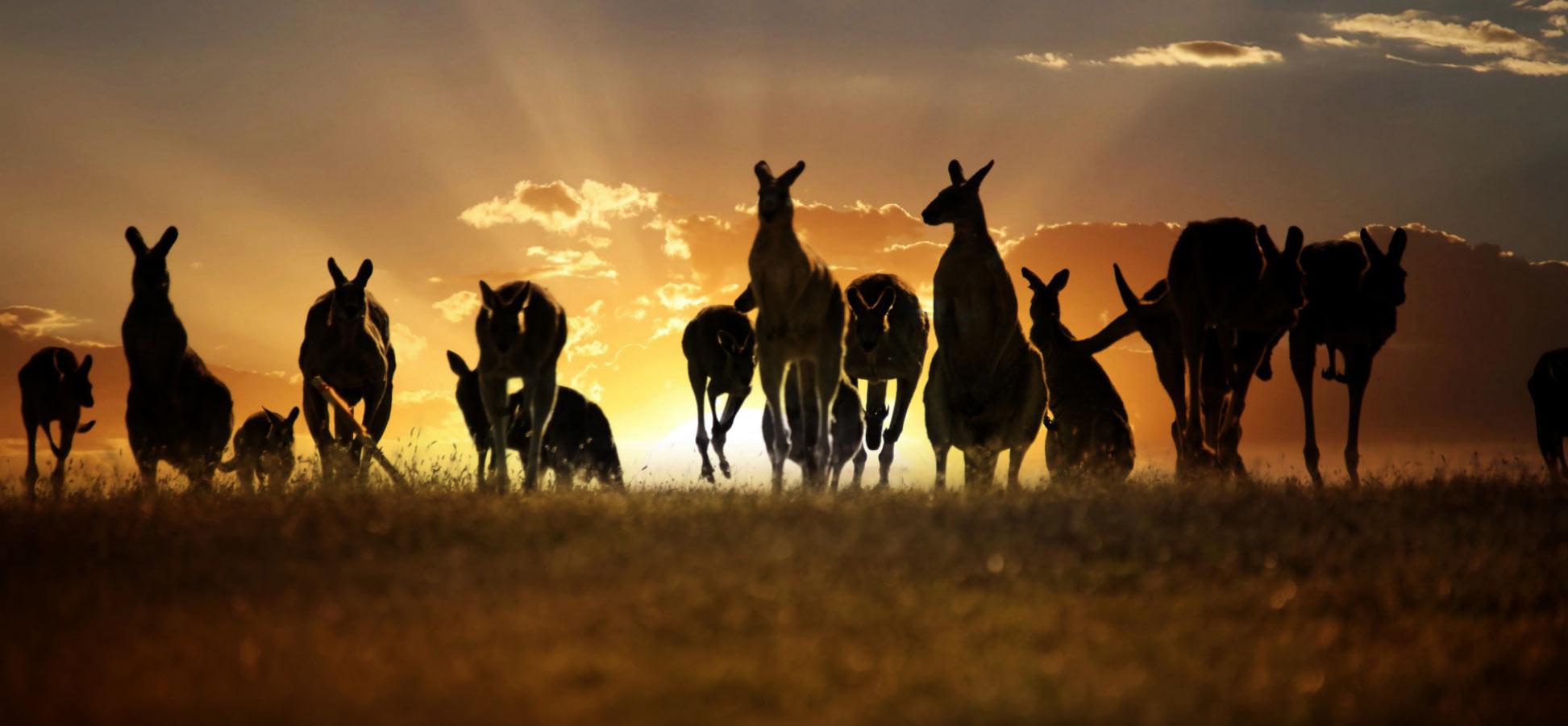 Australia Outback Kangaroo Uluru