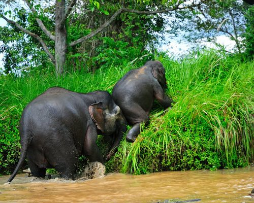 Borneo-pygmy-elephants