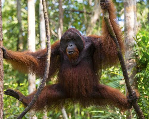 male-orangutan