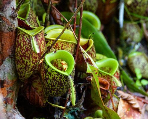 pitcher-plants