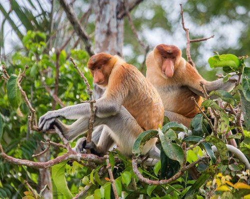 proboscis-monkeys-borneo