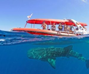 Swimming with whale sharks WA