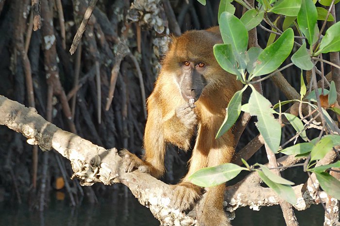 A baboon munnching on the oysters found growing ni the mangrove roots at low tide