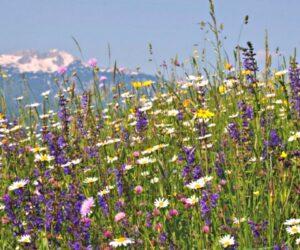 Sloveina Wild Flower
